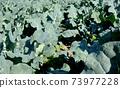 Broccoli field 73977228
