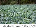 Broccoli field 73977229
