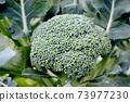 broccoli 73977230