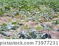 Field after broccoli harvest 73977231