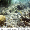 A photo of acanthurus lineatus fish in Togian islands 73984314