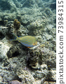 A photo of acanthurus lineatus fish in Togian islands 73984315