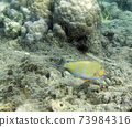 A photo of acanthurus lineatus fish in Togian islands 73984316