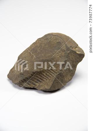 亞捫人化石 73987774
