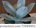 두께 식물 잎의 형태로, 가장자리에 가시가 있습니다. 73989901