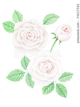 장미꽃 색연필 그림 74017592