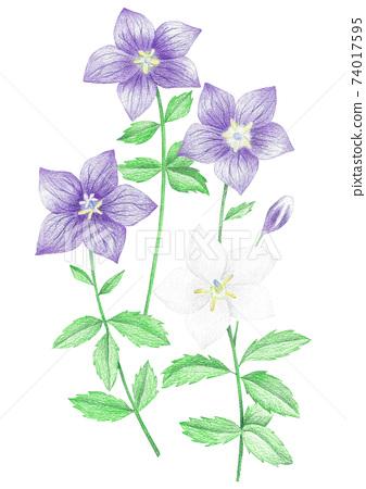 도라지꽃 색연필 그림 74017595