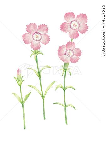 패랭이꽃 색연필 그림 74017596