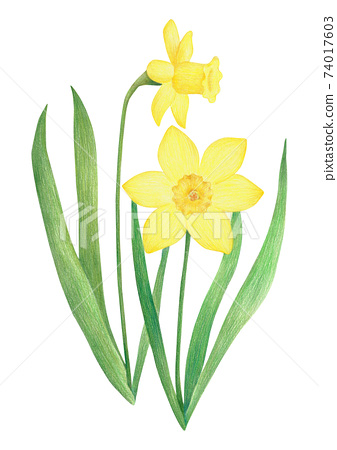 Daffodil colored pencil drawing 74017603