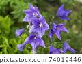 도라지 꽃 74019446
