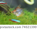 Tropical fish in aquarium 74021390