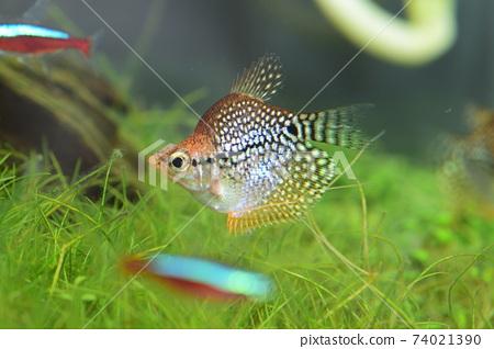 在水族館的熱帶魚 74021390