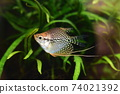 Tropical fish in aquarium 74021392