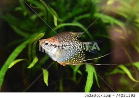 在水族館的熱帶魚 74021392