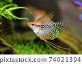 Tropical fish in aquarium 74021394