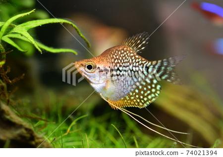 在水族館的熱帶魚 74021394