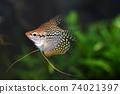 Tropical fish in aquarium 74021397