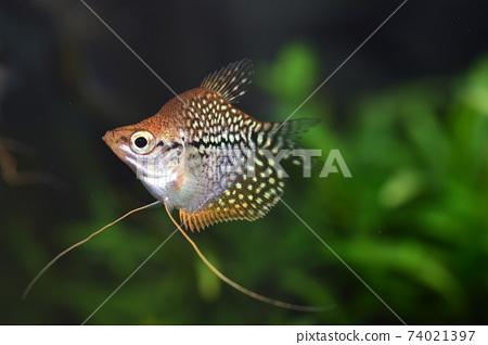 在水族館的熱帶魚 74021397