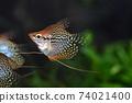 Tropical fish in aquarium 74021400