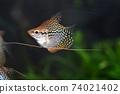 Tropical fish in aquarium 74021402
