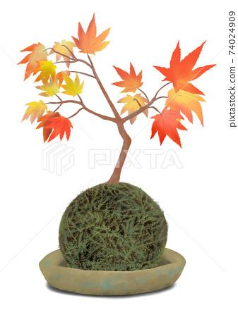 苔蘚球和楓樹盆景苔蘚球上的楓樹BONSAI 74024909