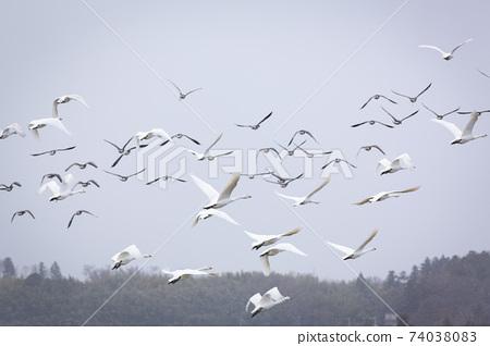 一群天鵝起飛 74038083