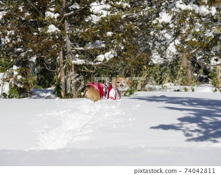 小獵犬狗享受雪爬山 74042811