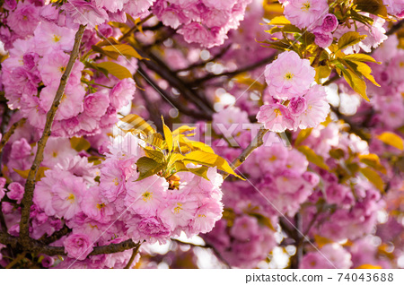 pink cherry blossom close up. beautiful nature scenery in morning light. spring freshness concept 74043688