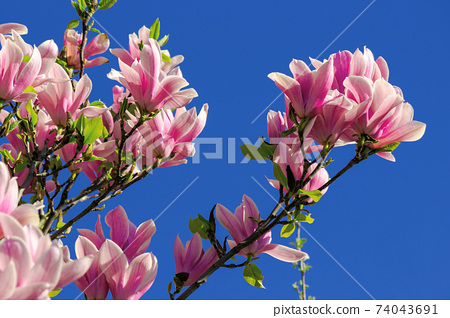 pink blossom of magnolia tree in spring. flowers on the branches in bright sunlight. beautiful nature background beneath a deep blue cloudless sky 74043691