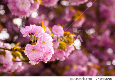 pink cherry blossom close up. beautiful nature scenery in morning light. spring freshness concept 74043696