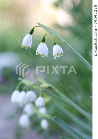 은방울꽃과 비슷한 꽃 (눈송이, 은방울꽃 수선화) 74045229