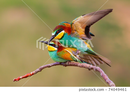 Two european bee-eaters mating on a twig in spring nature 74049461