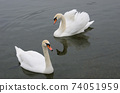 two beautiful swans floating on the lake 74051959