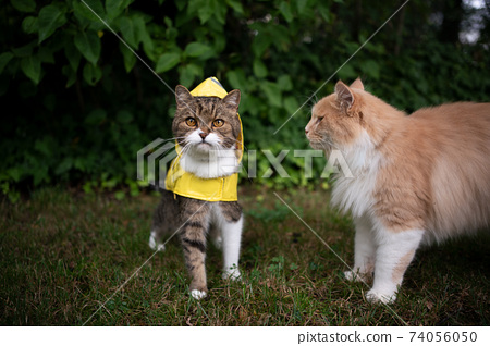 tabby white cat wearing yellow rain coat outdoors in bad weather 74056050