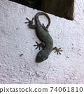 Gecko 74061810