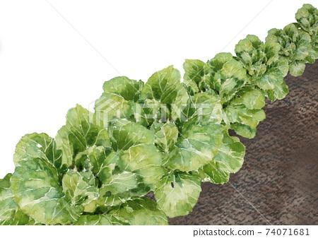 水彩:白菜田前大白菜前菜材料白色背景副本可用空間 74071681