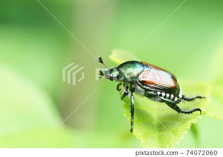 日本甲蟲 74072060