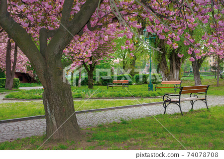 sakura blossom in the park. beautiful nature scenery in springtime. lush pink flowers on the branches above the paved footpath 74078708