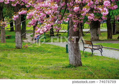 sakura blossom in the park. beautiful nature scenery in springtime. lush pink flowers on the branches above the paved footpath 74078709