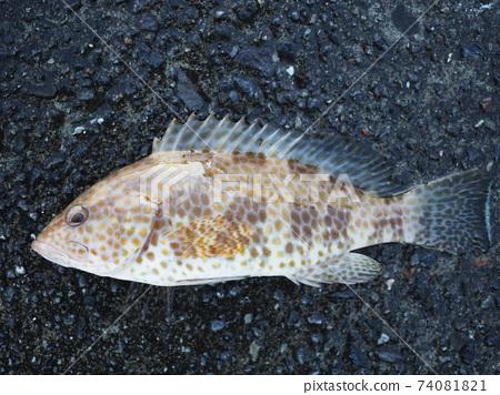 寶石石斑魚 74081821