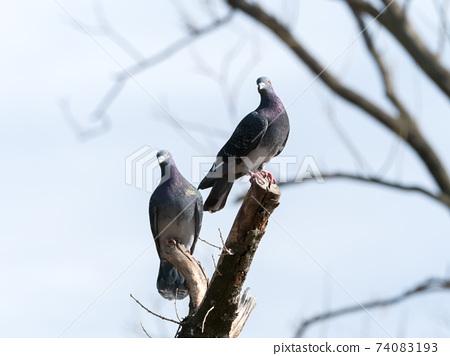 在樹的一隻鴿子 74083193
