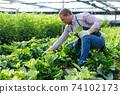 Man gardener picking Malabar spinach in hothouse at sunny day 74102173