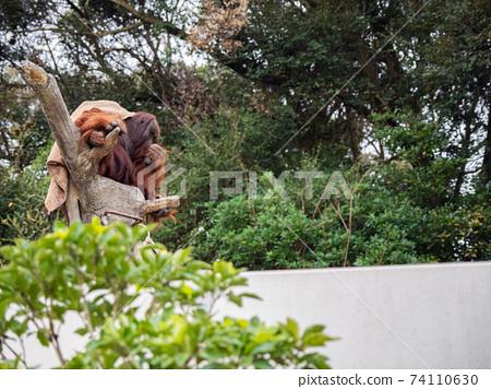 婆羅洲猩猩 74110630
