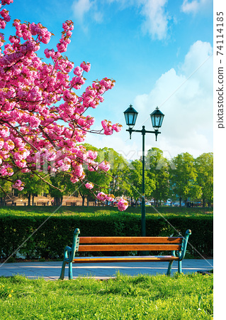 wonderful urban scenery in the morning. bench and lantern near blossoming cherry tree in the park. beautiful sunny weather with fluffy clouds on the sky 74114185