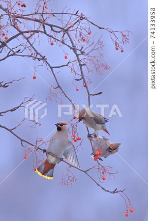 太平鳥(北海道) 74133958