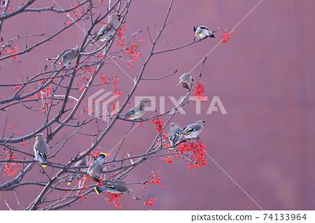 太平鳥(北海道) 74133964