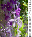 Sandpaper vine, Queens Wreath, Purple Wreath flower blooming in my garden photo. 74138121