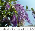 Sandpaper vine, Queens Wreath, Purple Wreath flower blooming in my garden photo. 74138122
