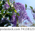 Sandpaper vine, Queens Wreath, Purple Wreath flower blooming in my garden photo. 74138123
