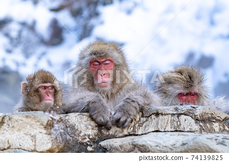 一隻家庭猴子舒適地浸泡在溫泉中 74139825